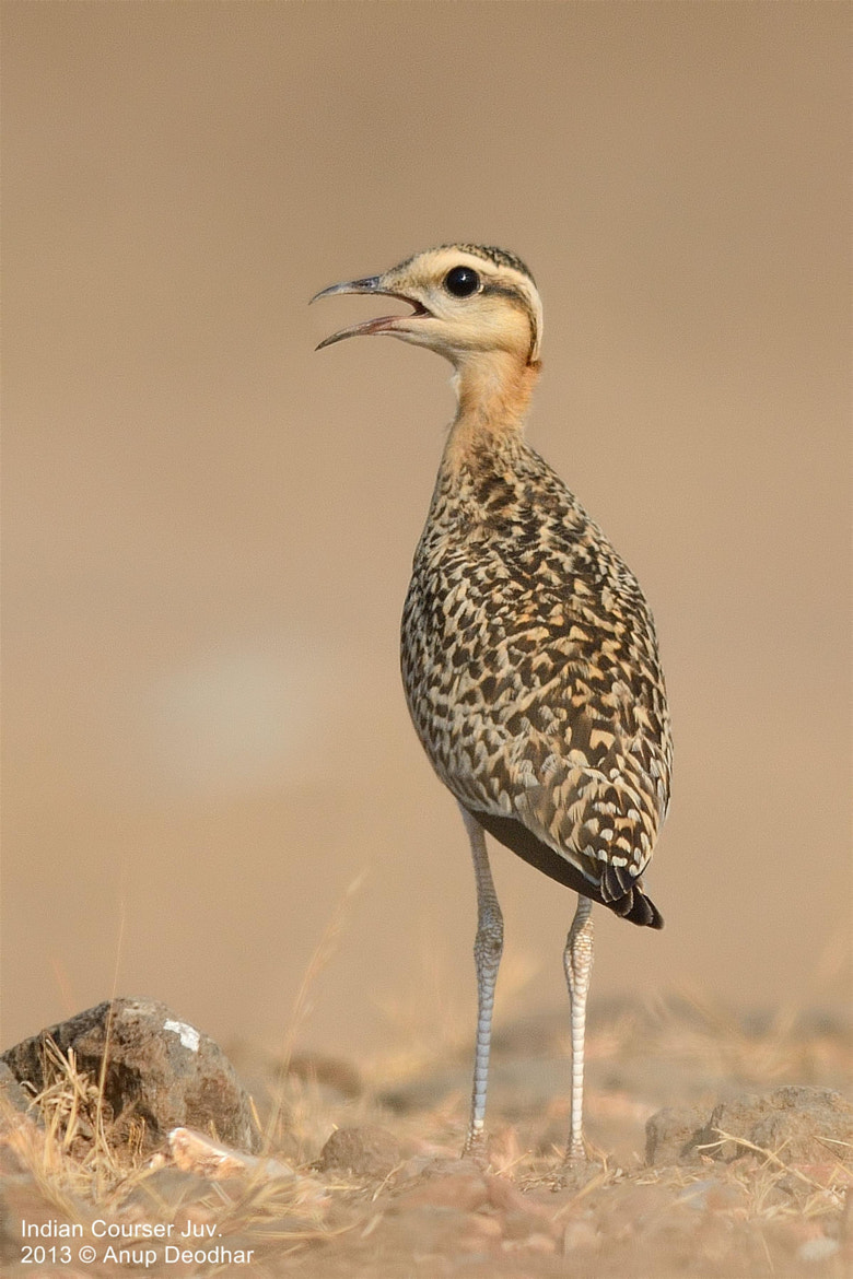 Photograph Indian Courser Juv. by Anup Deodhar on 500px