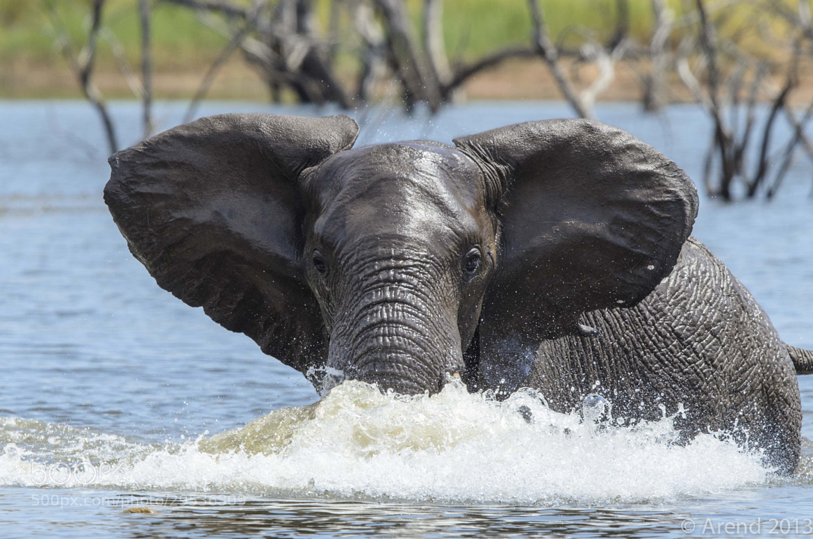 Photograph Elephant swimming by Arend van der Walt on 500px