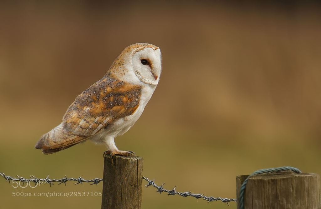 Photograph Barn Owl by John Starkey on 500px