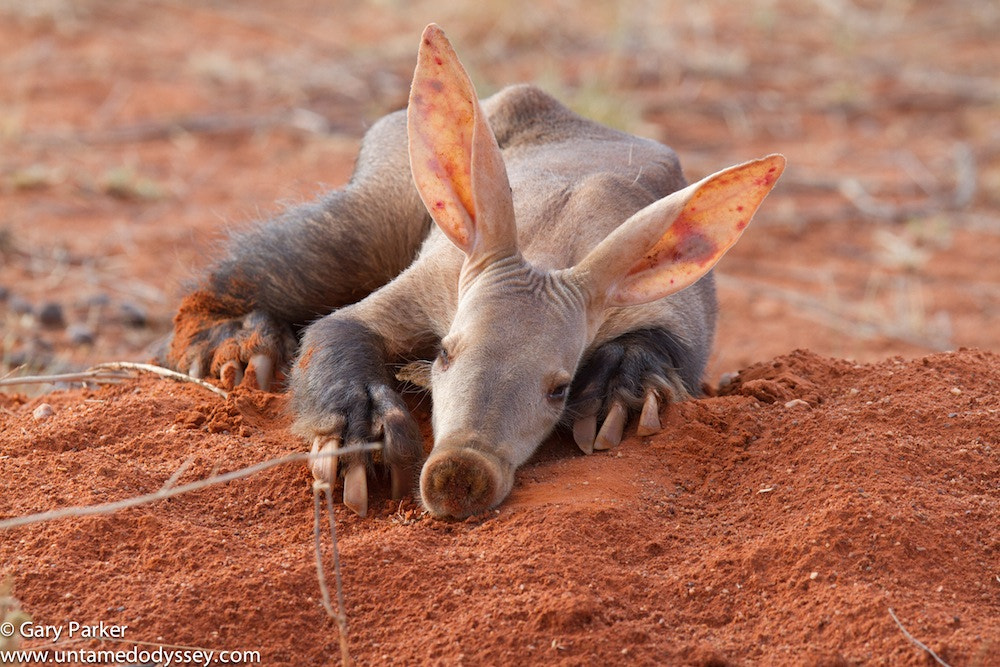 "Photograph ""Lazy Aardvark"" by Gary Parker on 500px"