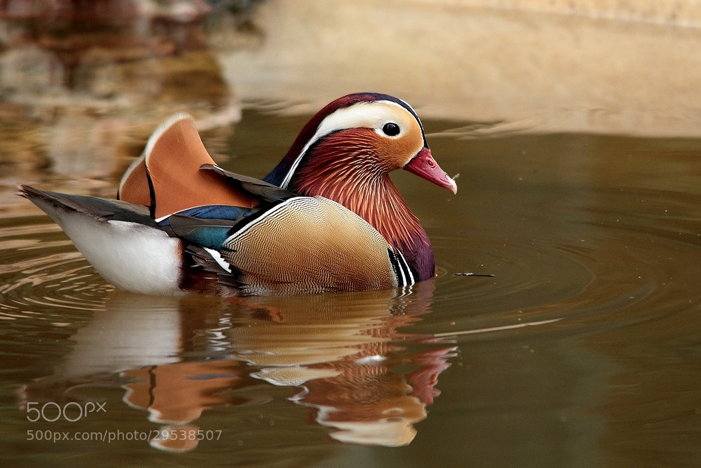 Photograph Mandarin Duck by wise photographie on 500px