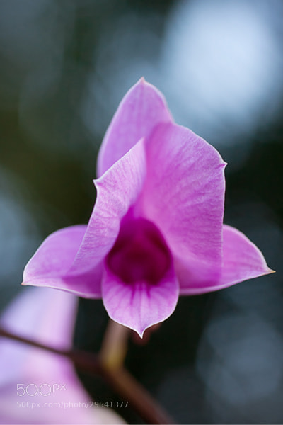 Photograph Opening Orchid by Julia S on 500px