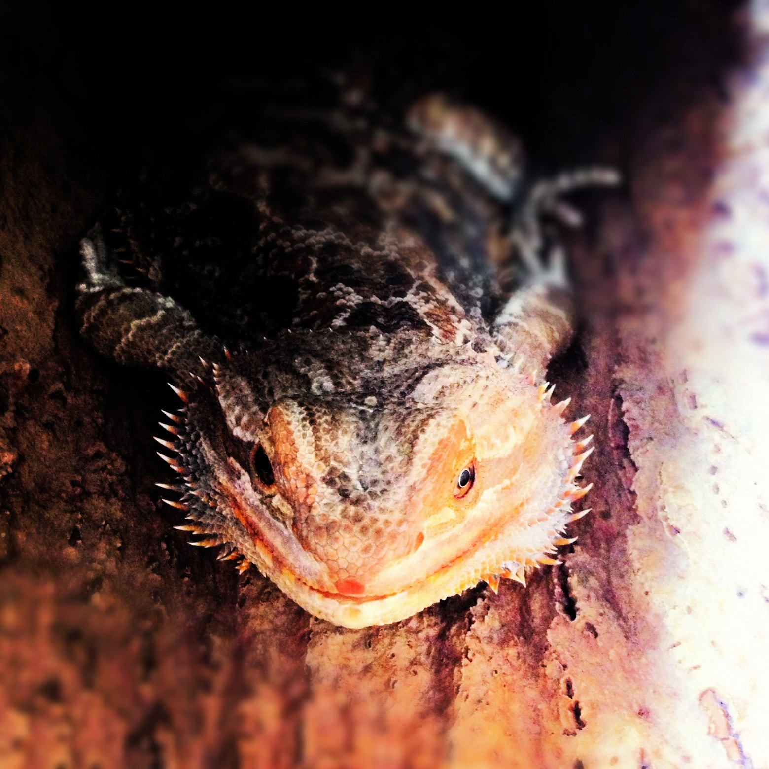 Photograph Pixel the Bearded Dragon by Dave Hornsby on 500px