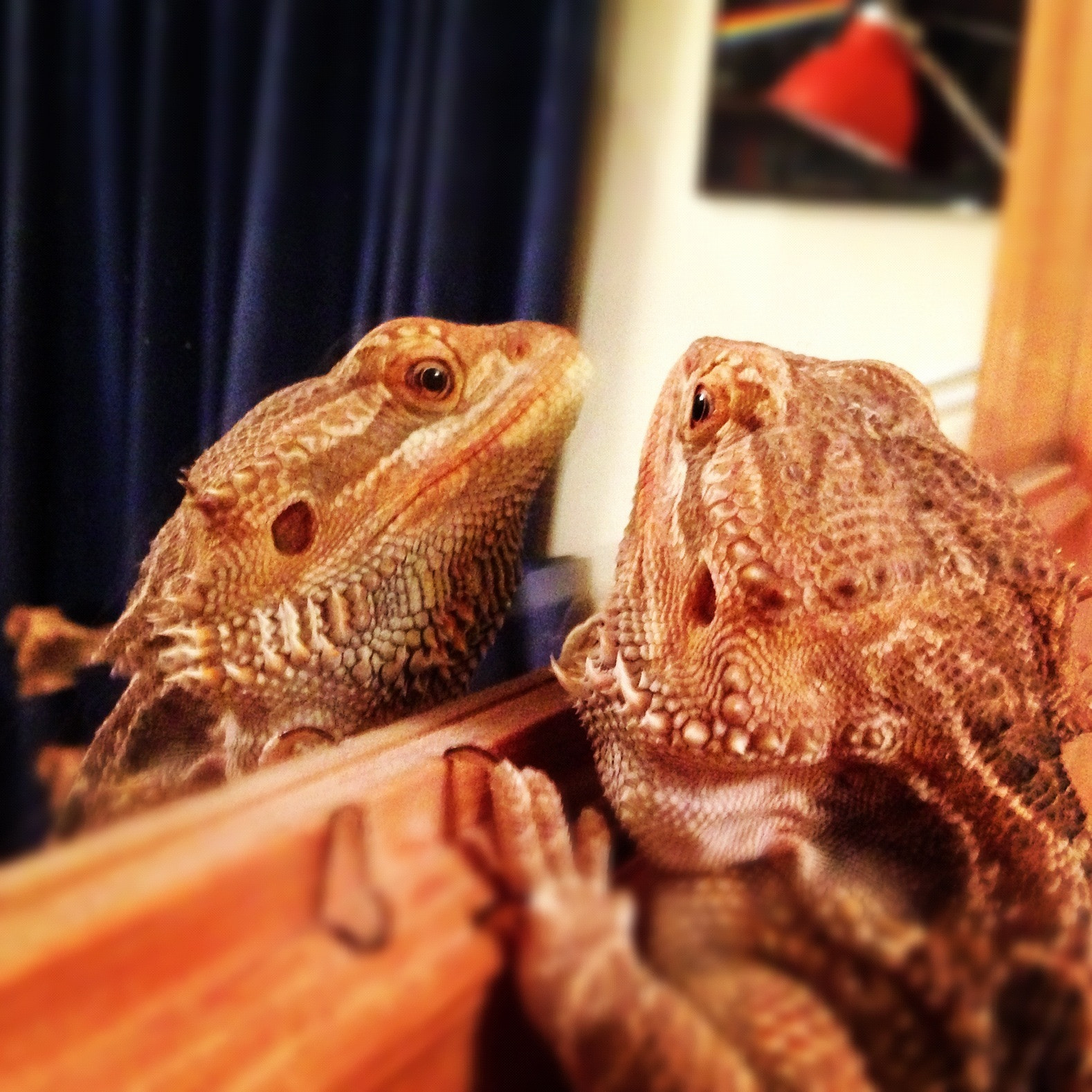Photograph Pixel the Bearded Dragon admires himself by Dave Hornsby on 500px