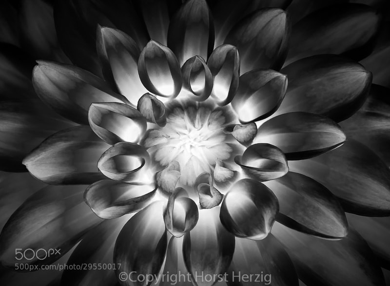 Photograph Dahlia by Horst Herzig on 500px