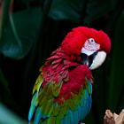 A Green Winged Macaw at the Bloedel Conservatory in Vancouver. Ambient light, hand-held at ISO 800.