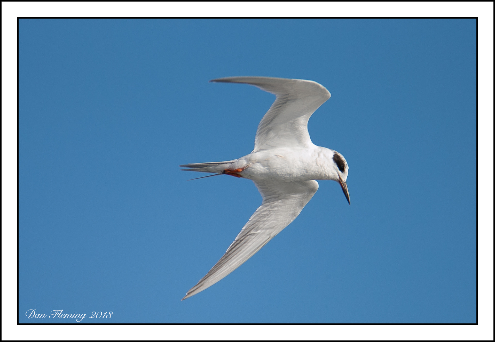 Photograph Least Tern by Dan Fleming on 500px