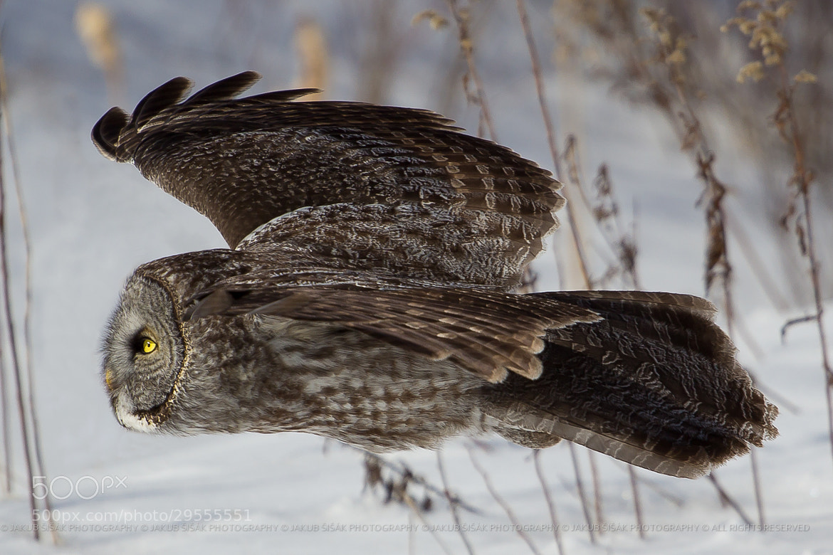 Photograph Great Grey Owl in Flight III by Jakub Šišák on 500px