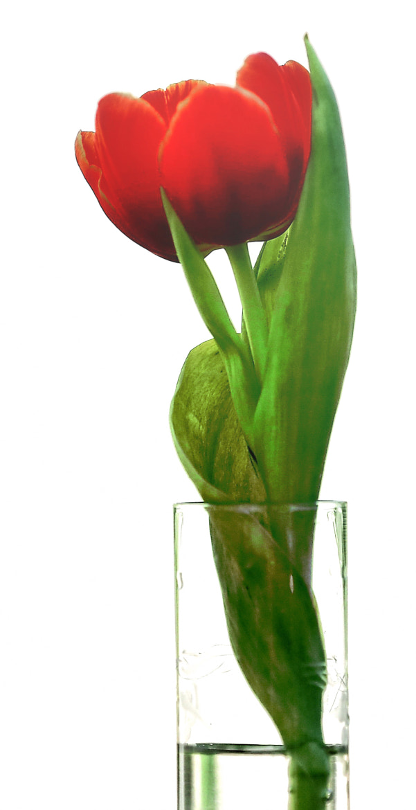 Photograph Lone Tulip by Cris T on 500px
