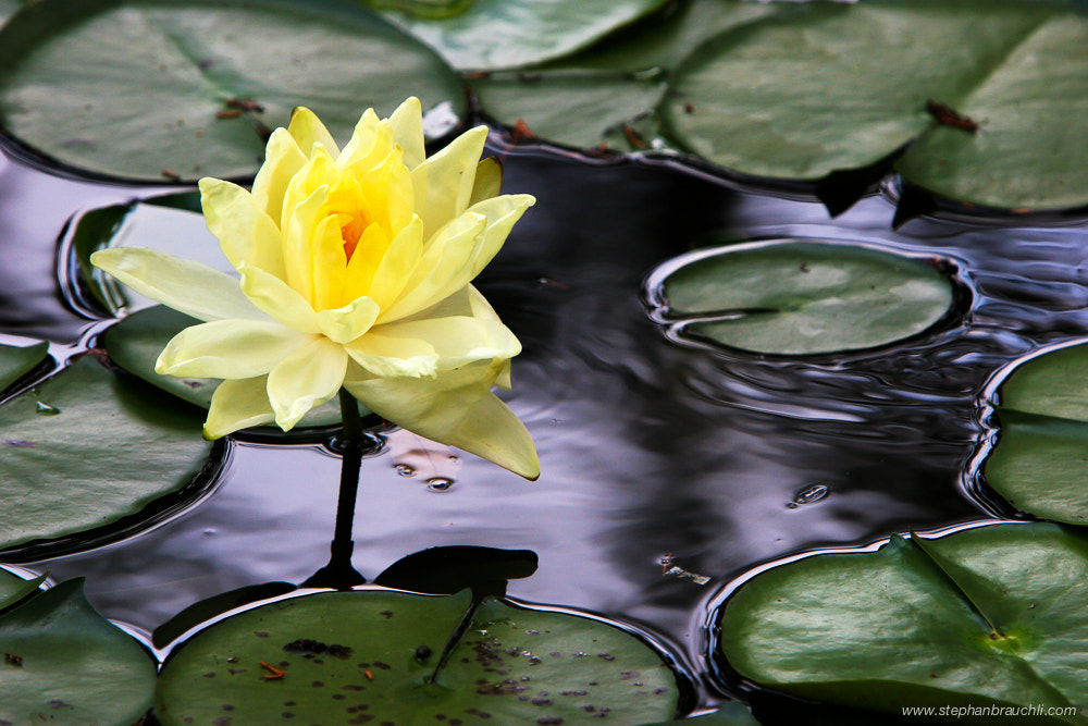 Photograph Water Lilly by Stephan Brauchli on 500px