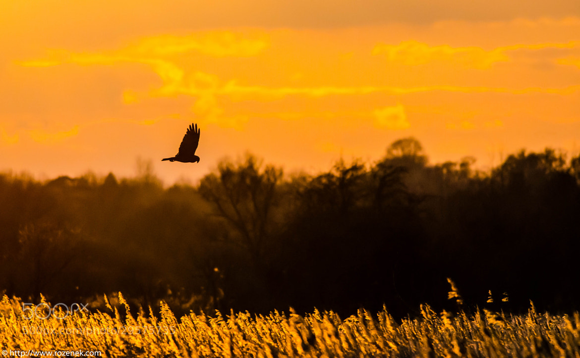 Photograph Marsh Harrier by Pawel Rozenek on 500px