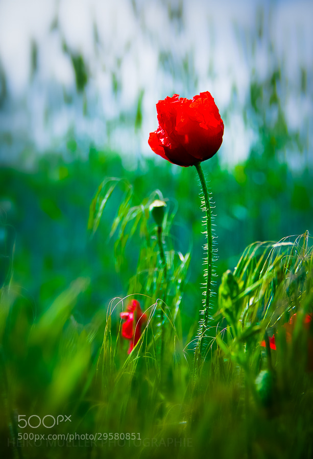 Photograph Red flower by Heiko Mueller on 500px