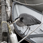 This heron frequents the docks and wooden boats at the Vancouver Maritime Museum, looking for an evening snack.