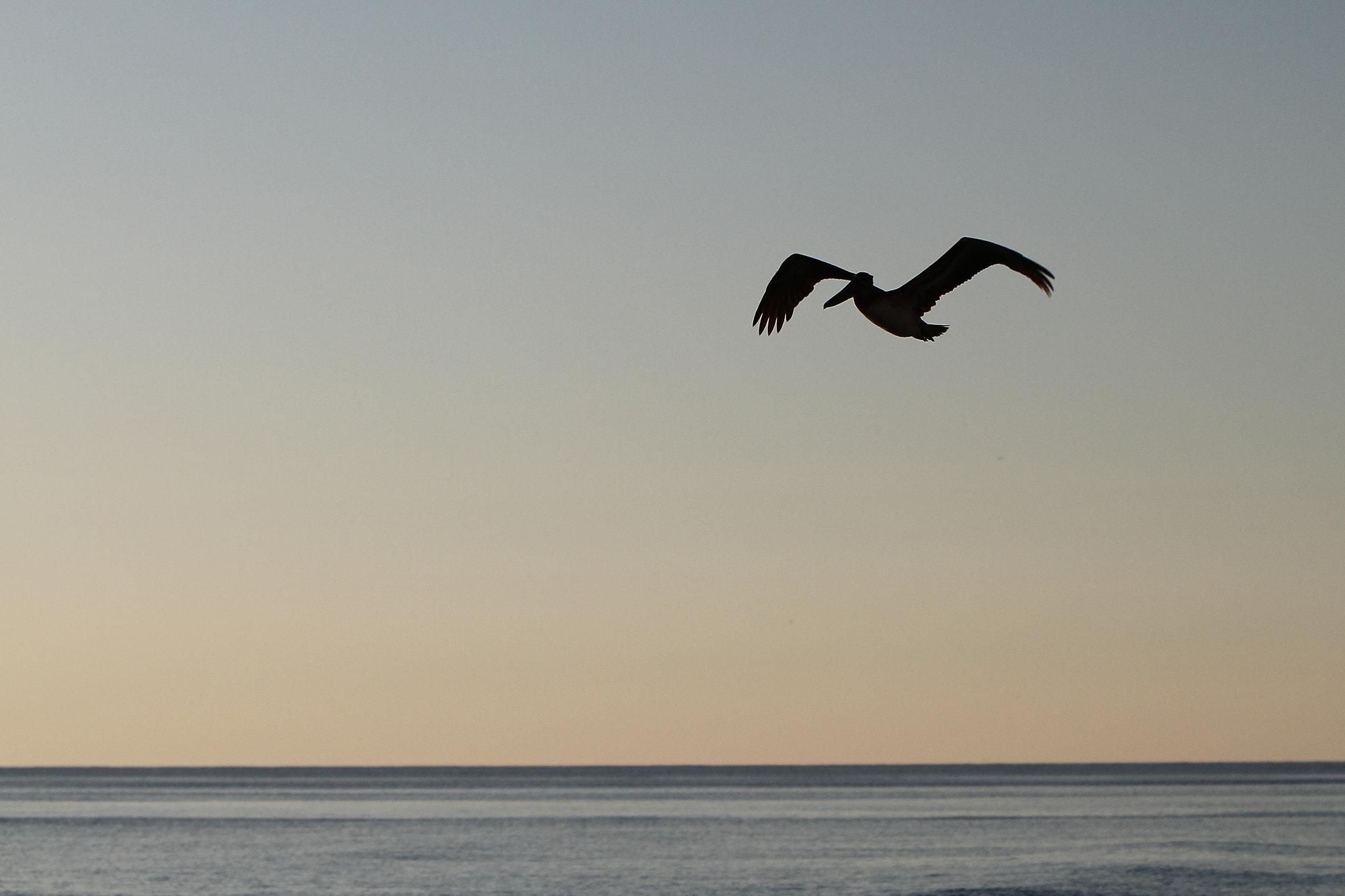 Photograph Pelican Silouette by Michael Thompson on 500px