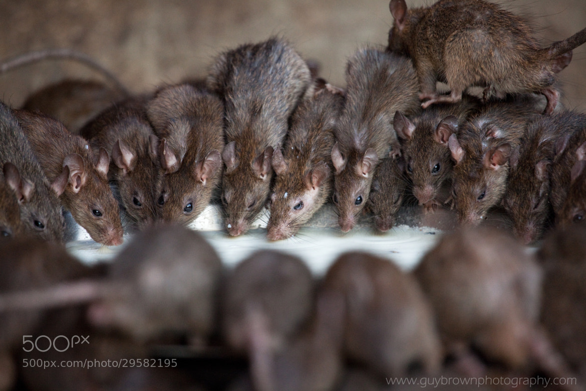 Photograph The Rat Temple, India by Guy Brown on 500px