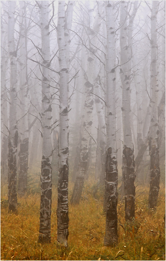 Photograph Fog between the aspen by Ingrid Lamour on 500px
