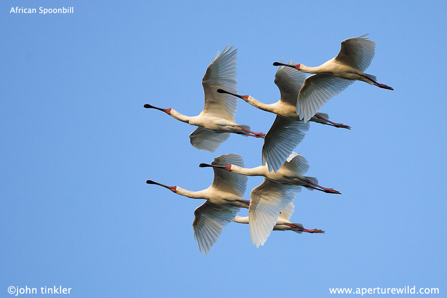 Photograph African Spoonbill by John Tinkler on 500px