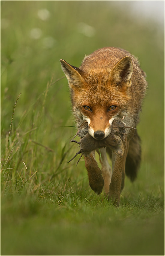 Photograph The Fox by Ingrid Lamour on 500px