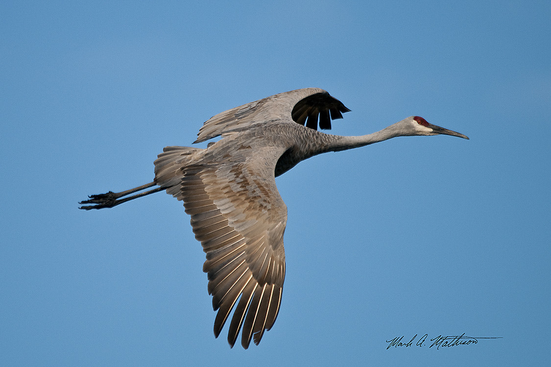 Photograph Sandhill Crane by Mark Mathison on 500px