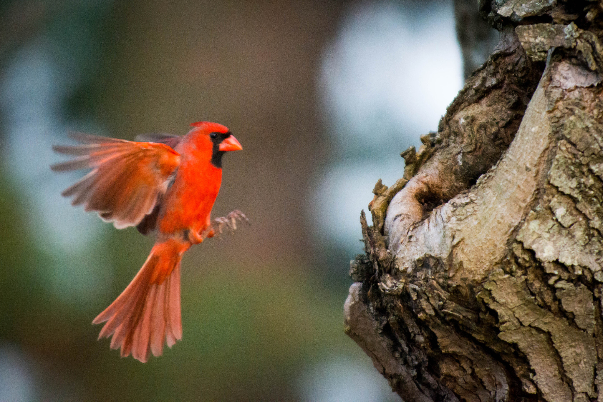 Photograph Northern Cardinal by Brandon Dewey on 500px