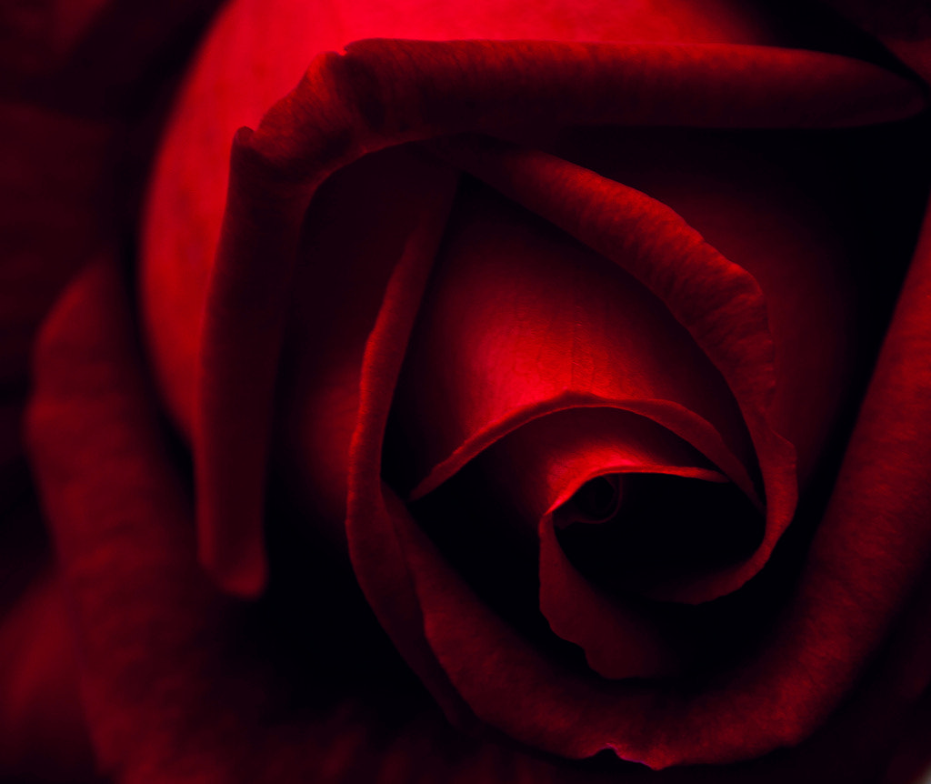 Photograph Rose by Audran Gosling on 500px