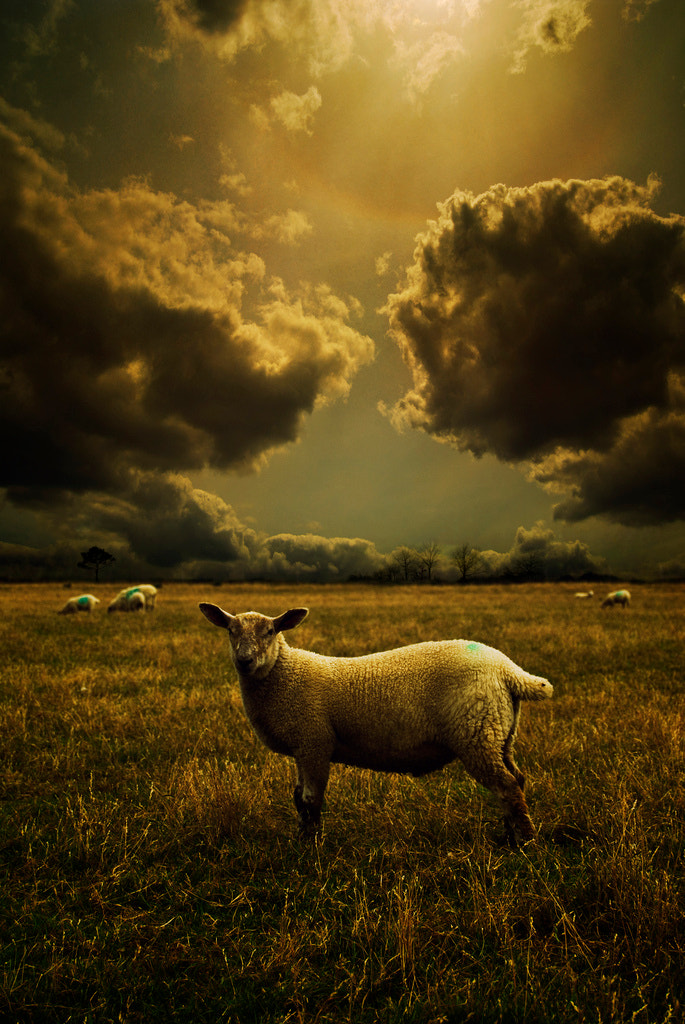 Photograph Little Lamb by Audran Gosling on 500px