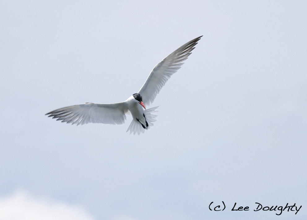 Photograph Tern by Lee Doughty on 500px
