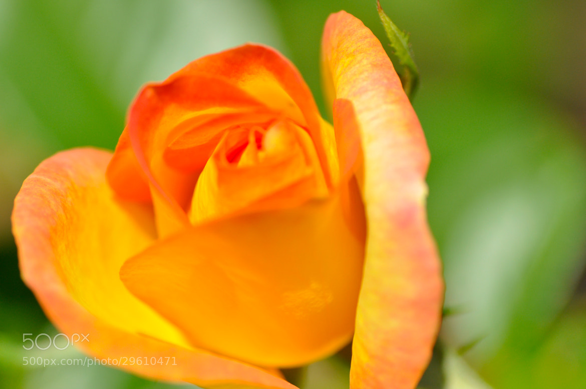 Photograph Rose by Dragan Stanisic on 500px