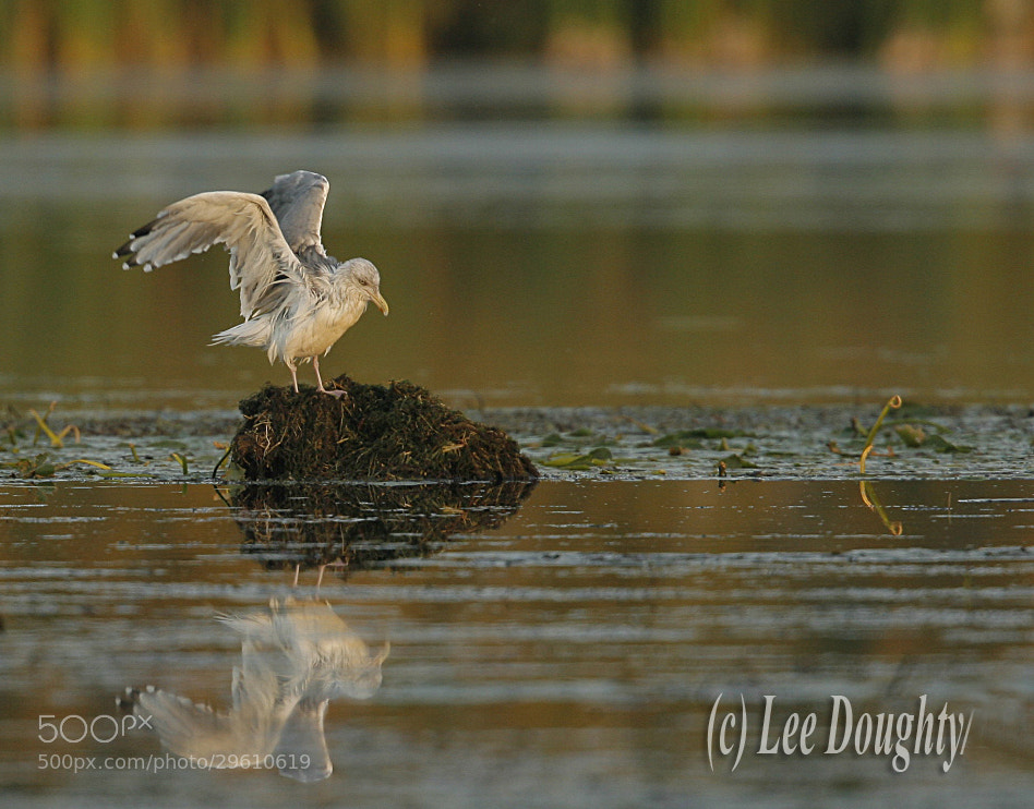 Photograph Ring-billed Gull by Lee Doughty on 500px