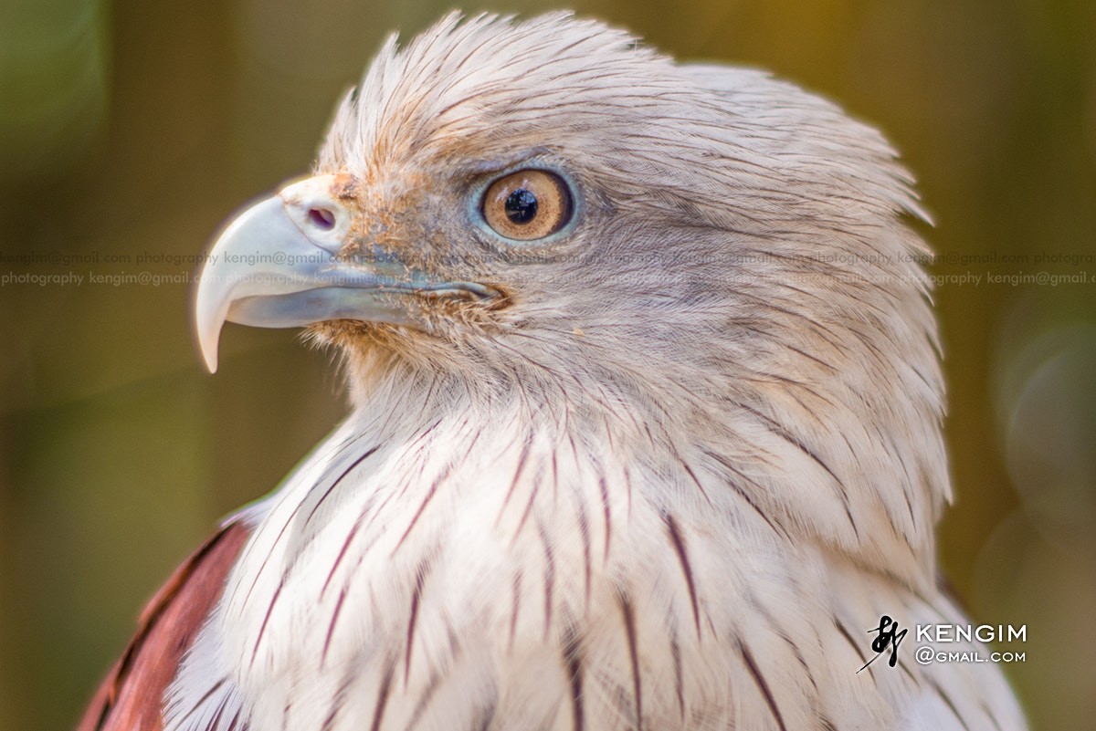 Photograph Eagle looking me by Ken Gim Seng Chye on 500px