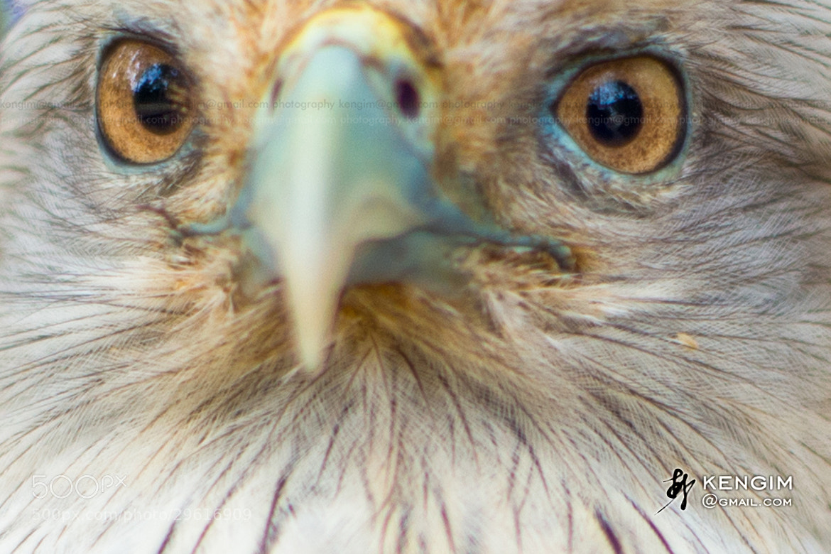 Photograph Eagle closed to me by Ken Gim Seng Chye on 500px