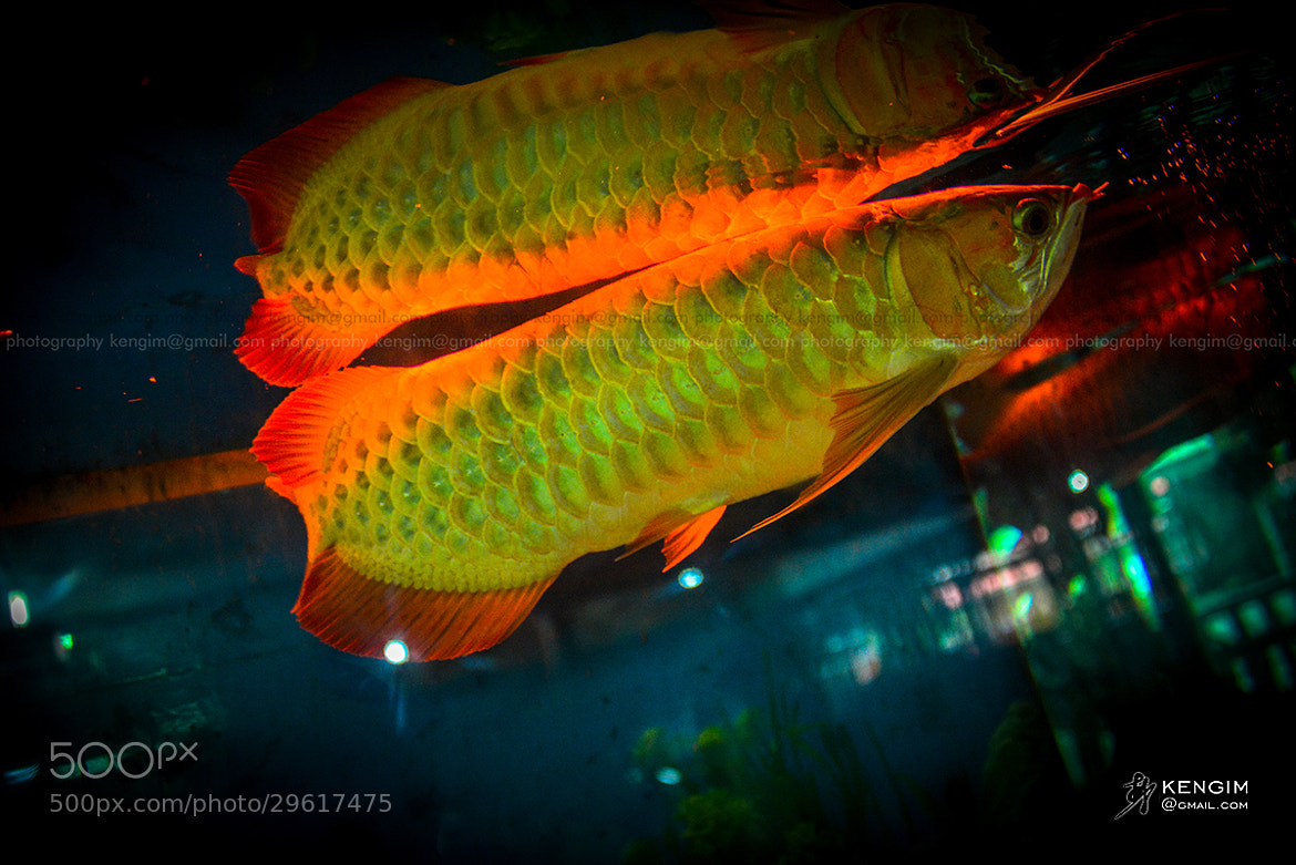 Photograph Dragon Fish by Ken Gim on 500px