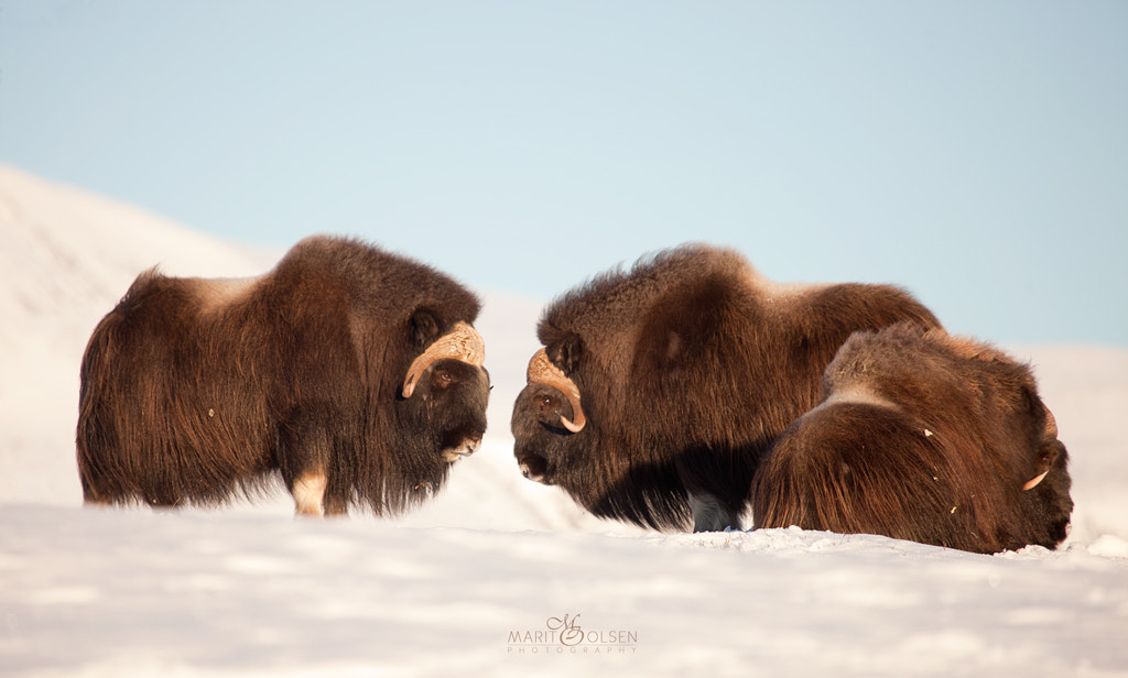 Photograph Musk Ox by Marit Olsen on 500px