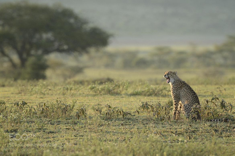 Photograph Cheetah in Ndutu by Mats Brynolf on 500px