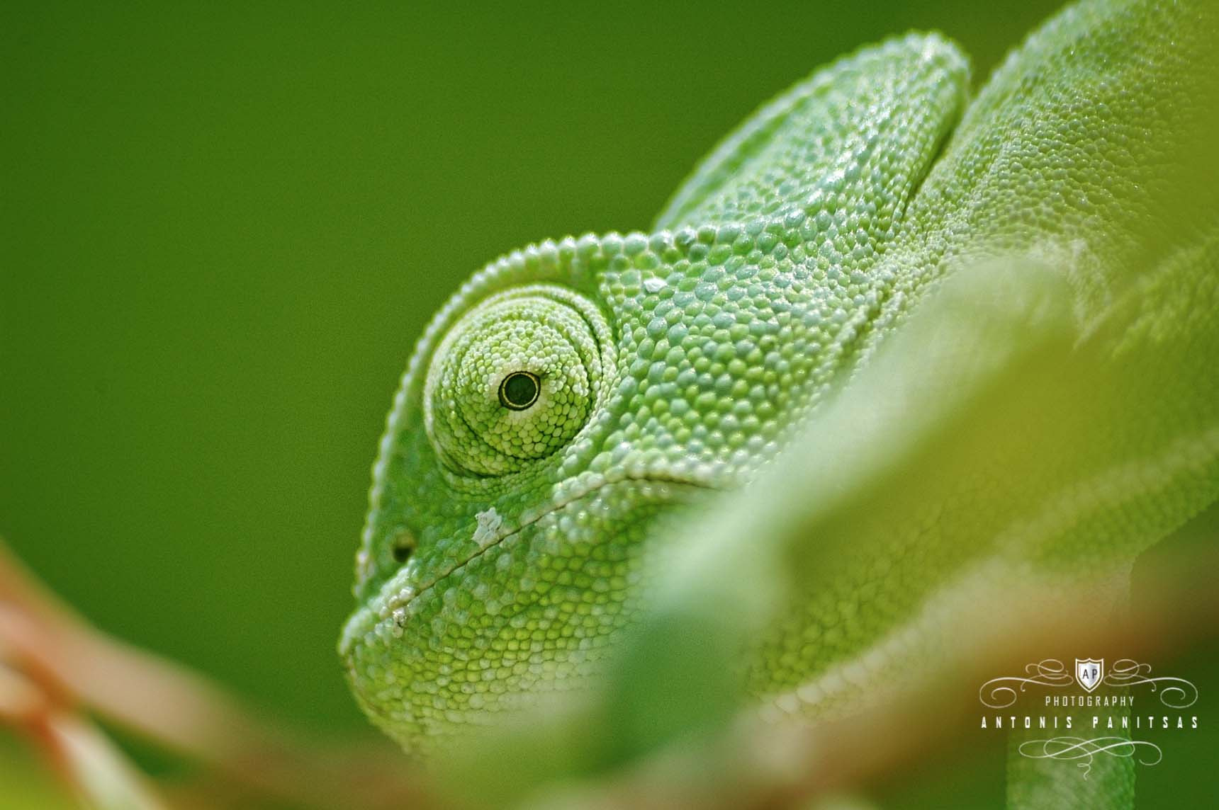 Photograph African Chameleon (Chamaeleo africanus) by Antonis Panitsas on 500px