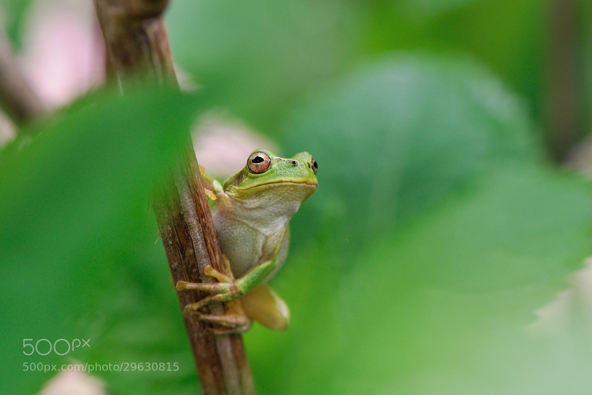 Photograph Tree Frog by Ken Ohyama on 500px