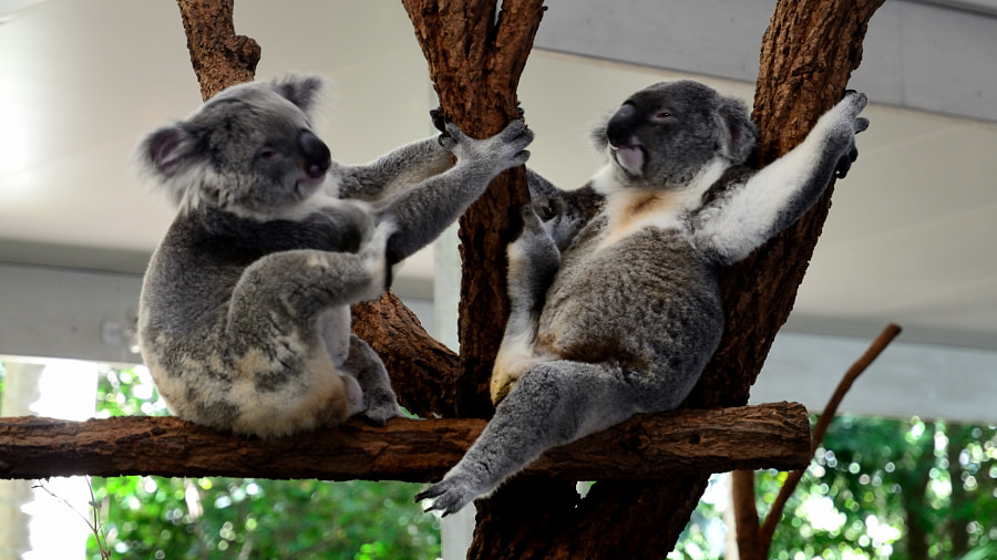 Sleeping koalas by Rémi BAUBY on 500px.com