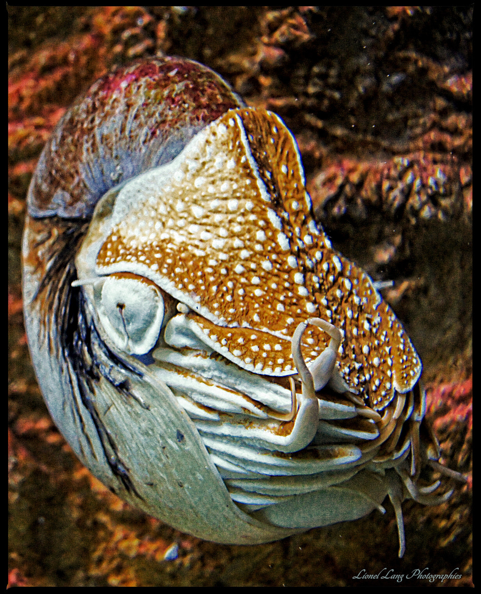 Photograph Prehistoric aquatic - Nautile  by Lionel Lang on 500px