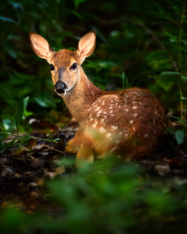 Photograph Fawn In The Spotlight by Steve Perry on 500px