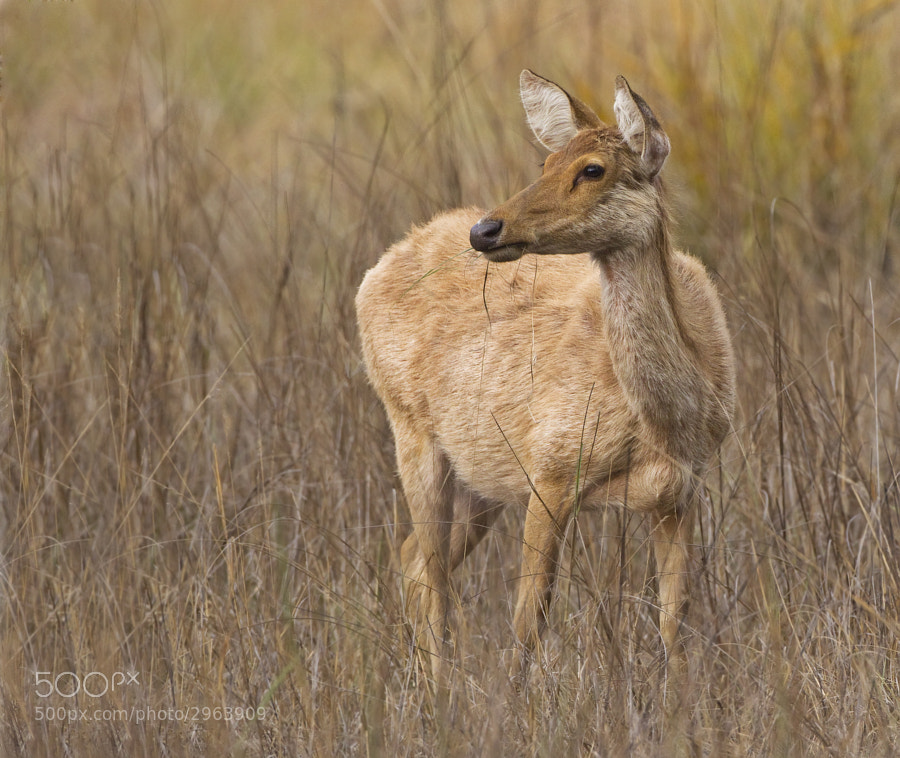This female was taken in Kanha National Park, India, where a very small population is steadily growing.