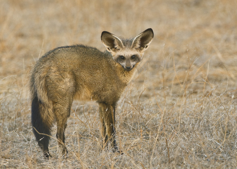 This beauty is mainly nocturnal and I have had very few good sightings of it, this one was taken in the Tuli block, Botswana