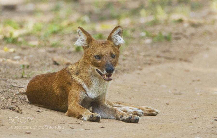 This Indian Wild Dog image was taken in Kanha National Park, India