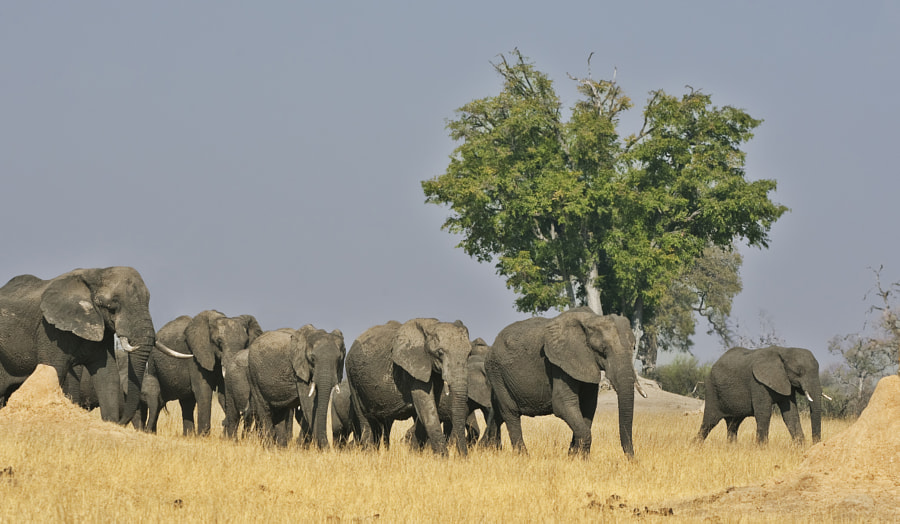 When we were sitting on our chais at Ngweshla waterhole, Hwange NP for obvious reaons I looked over my shoulder, away from the waterhole, it was quie interesting to find this crowd