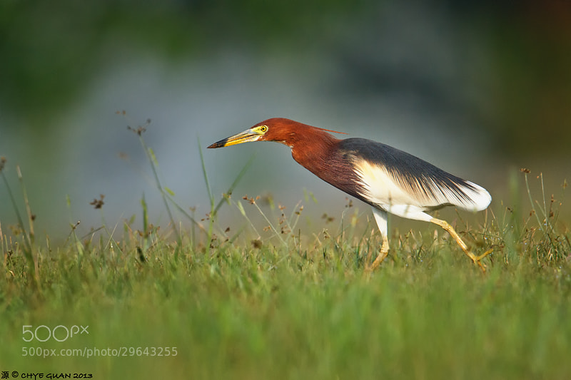 Photograph Chinese Pond Heron in Breeding Plumage by Chye Guan Tan on 500px