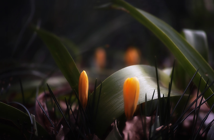 Crocuses Spring is coming soon•*¨*•.¸¸?? by Shigeru Sone on 500px.com