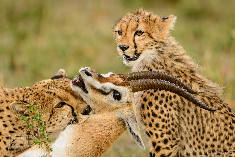 Photograph Cheetah Narasha kills a Thomson's gazelle by ...