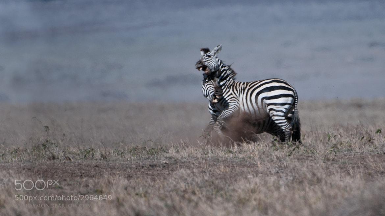 Photograph Zebra in Battle by Raymond Barlow on 500px