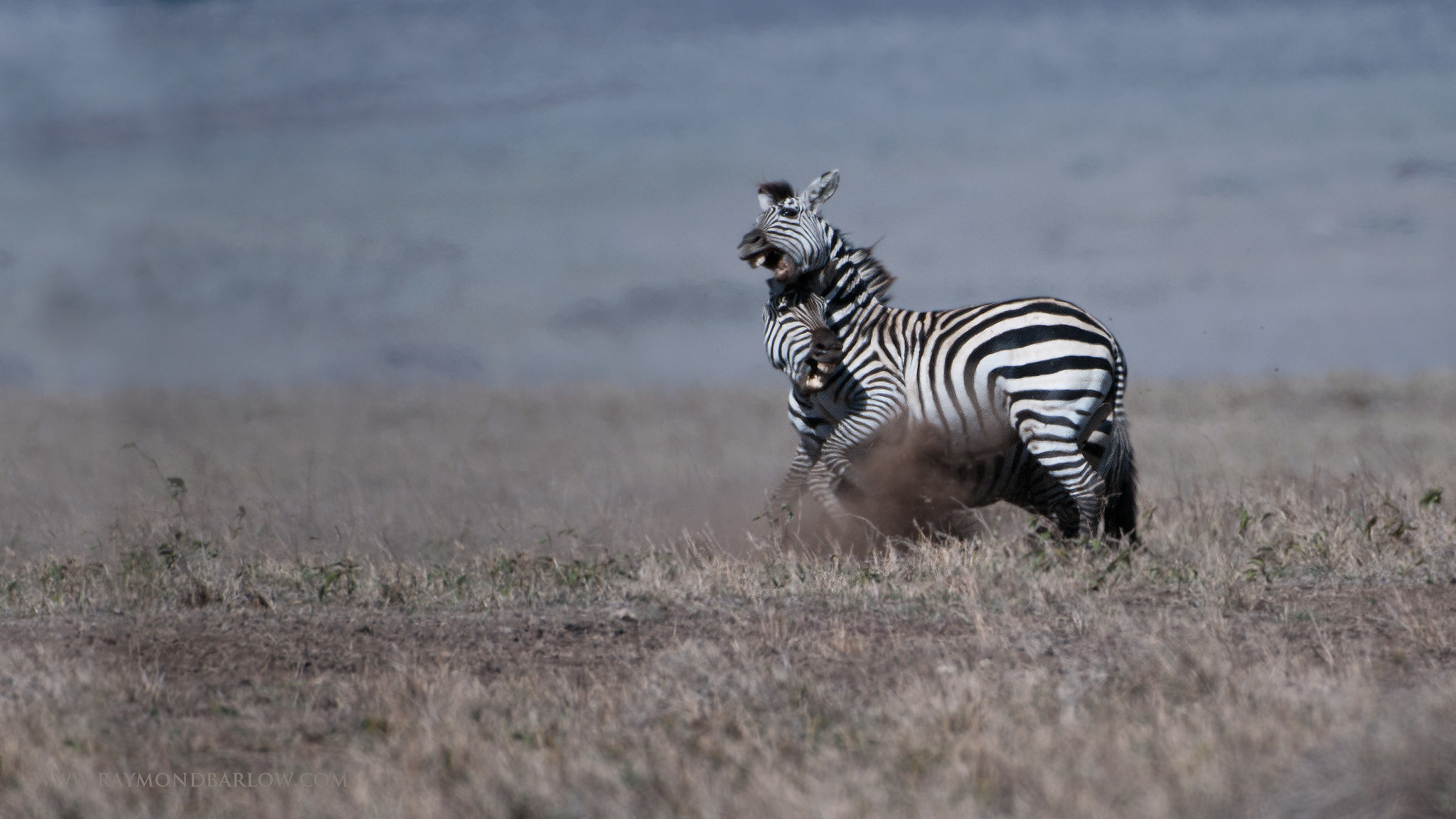 Photograph Zebra in Battle by Raymond Barlow on 500px