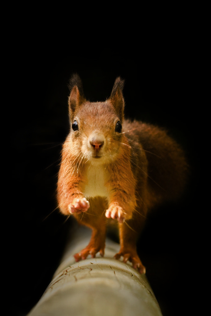 Photograph Red Squirrel - On The Run by George Wheelhouse on 500px