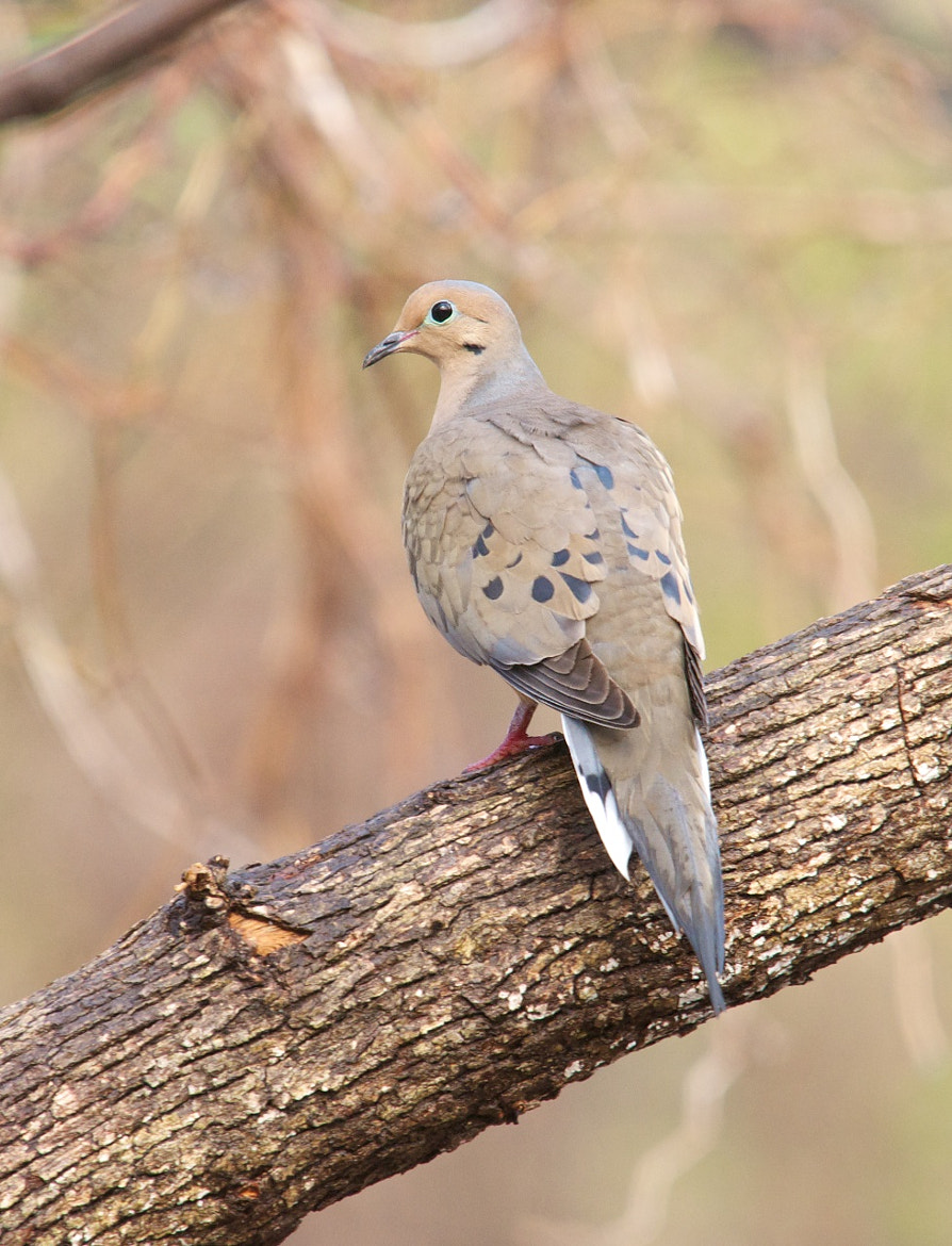 Photograph Drying Dove by Mike Fuhr on 500px
